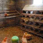 пример гнездовья в курятнике 4